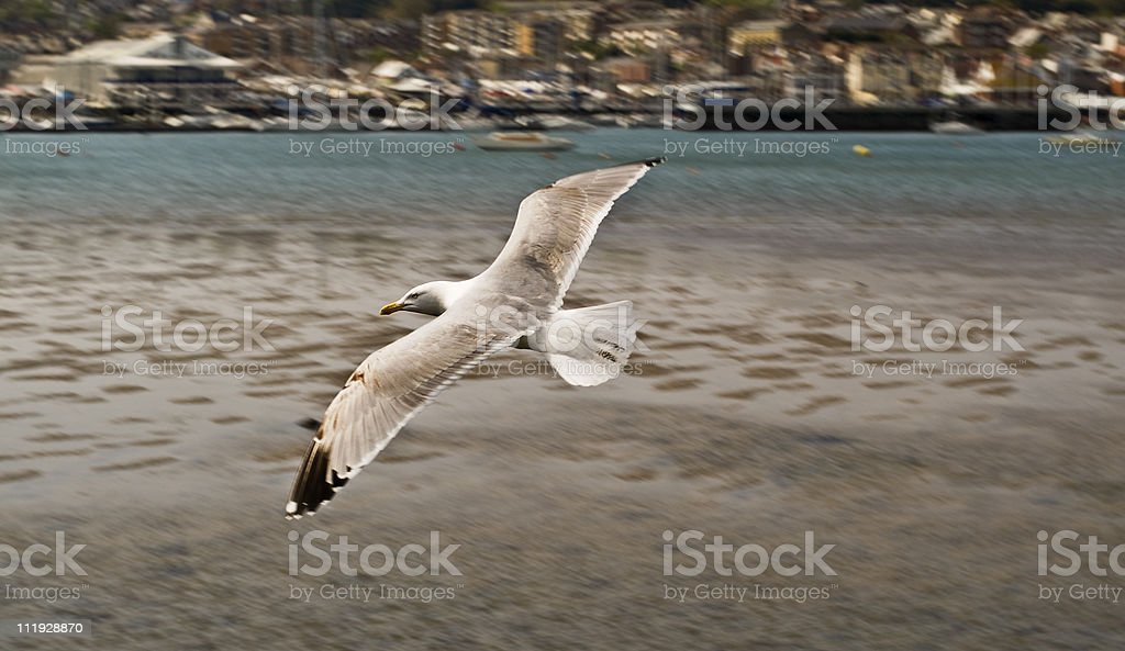 Panning a seagull flying along the English coast royalty-free stock photo