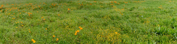Pano of poppies blooming in a green field stock photo
