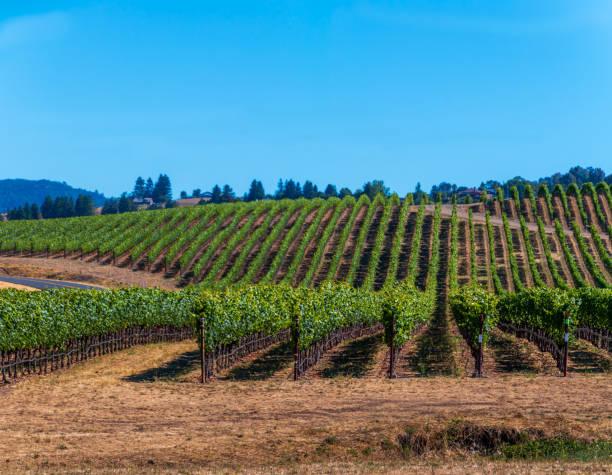 Pano of Sonoma County Vineyard stock photo