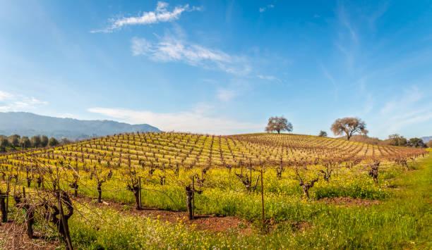 pano vineyard spring 6966 stock photo