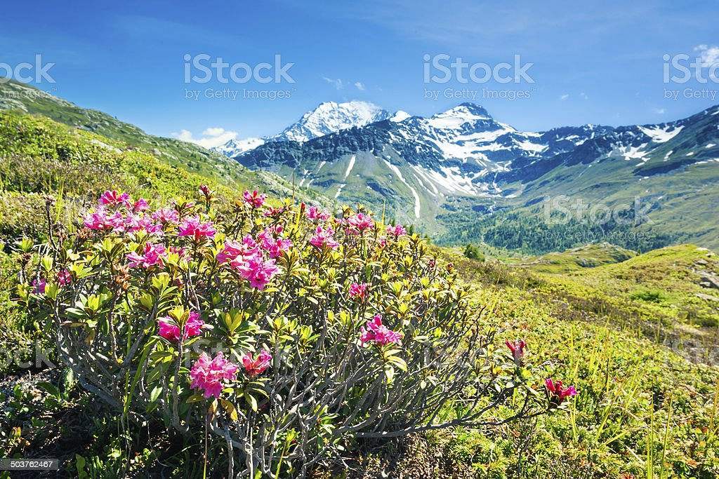 Panorama alps with flowers and high mountains stock photo