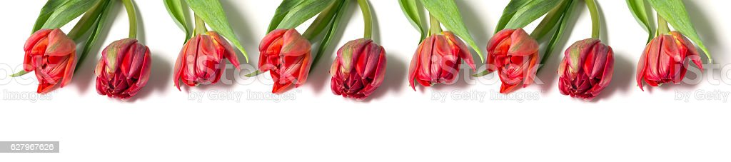 panorama bouquet of red tulips stock photo