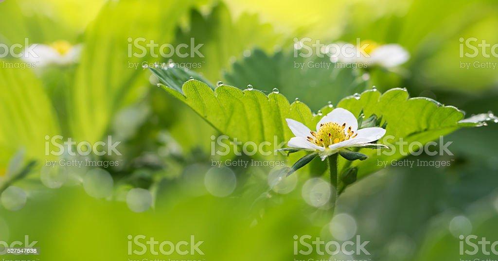 Панорама крупным планом цветок клубники и листья с каплями росы стоковое фото