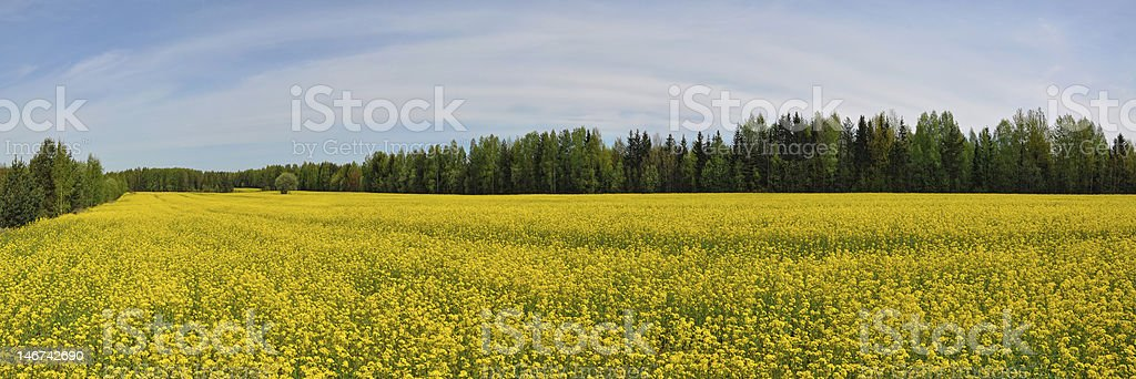 Panorama field of yellow rape (canola) royalty-free stock photo