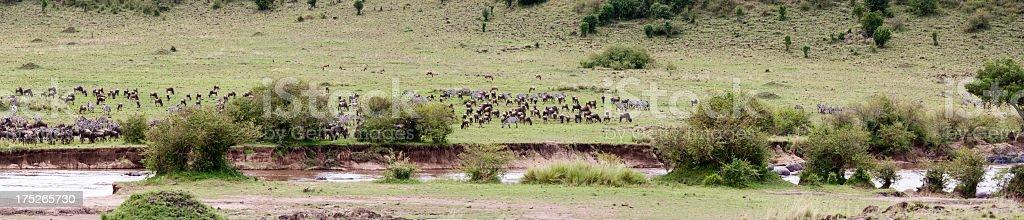 Panorama. Gnus and zebras getting ready to cross Mara river. stock photo
