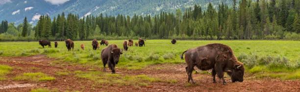 Rebaño panorámico de Bisonte Americano (Bison Bison) o Buffalo Panoramic Web Banner - foto de stock