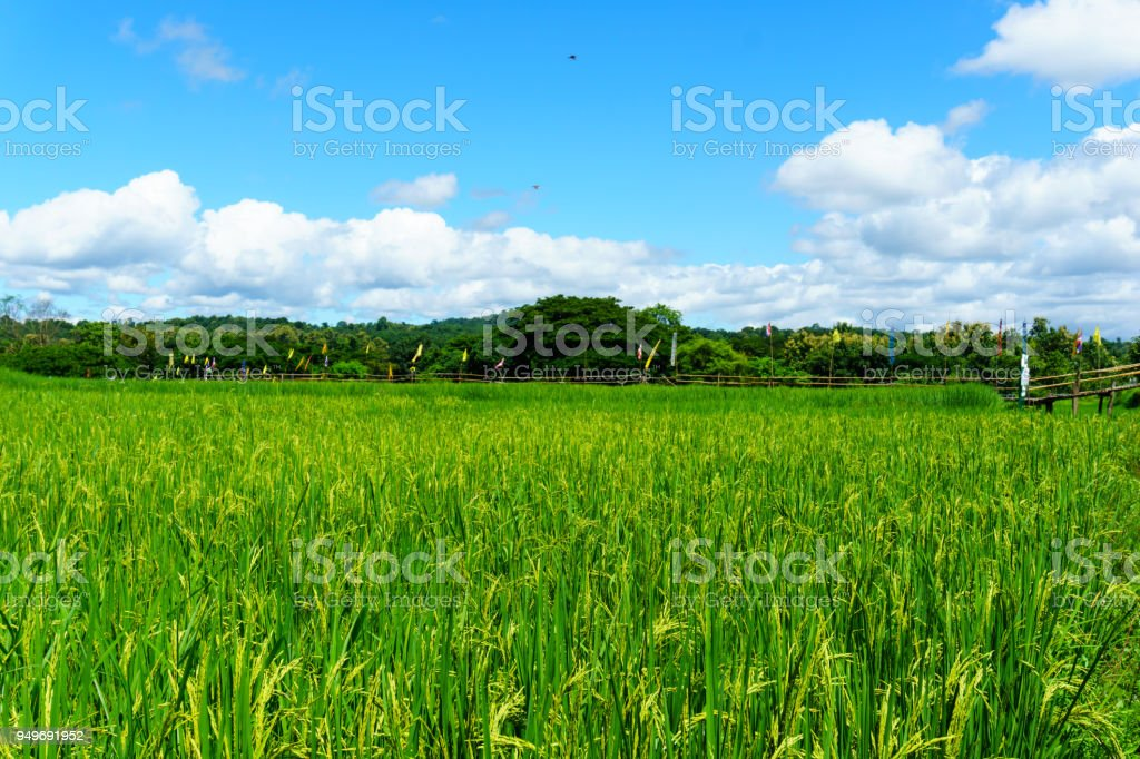 panorama landscape of rural organic rice paddy field with blue sky and cloud and tree background at countryside of north part of thailand. lampang province. agriculture, organic food concept. stock photo
