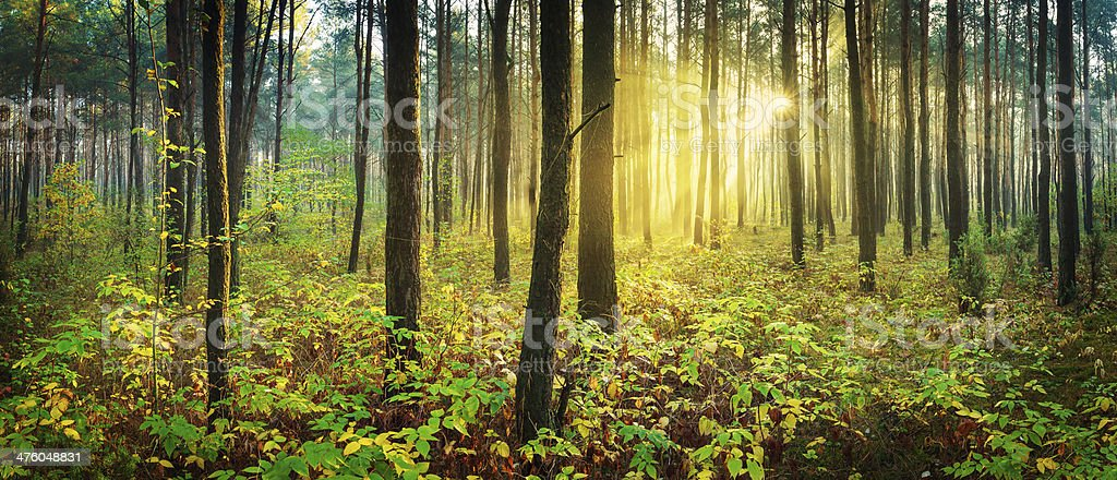 XXXL Panorama - Morning Sun Rays Penetrating Forest stock photo
