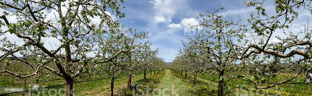 Panorama of a  blossoming apple orchard stock photo