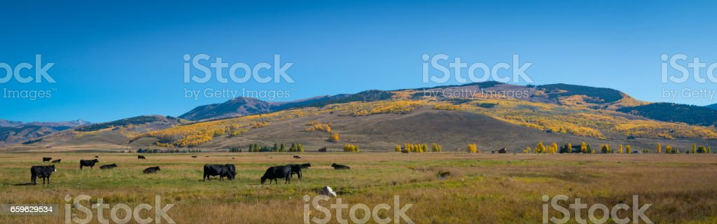 Panorama of a Colorado Ranch with cows stock photo