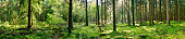 istock Panorama of a coniferous forest 1270406820