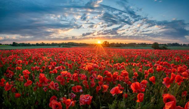 panorama de um campo de papoilas vermelhas de encontro ao fundo do céu da noite - papoula planta - fotografias e filmes do acervo