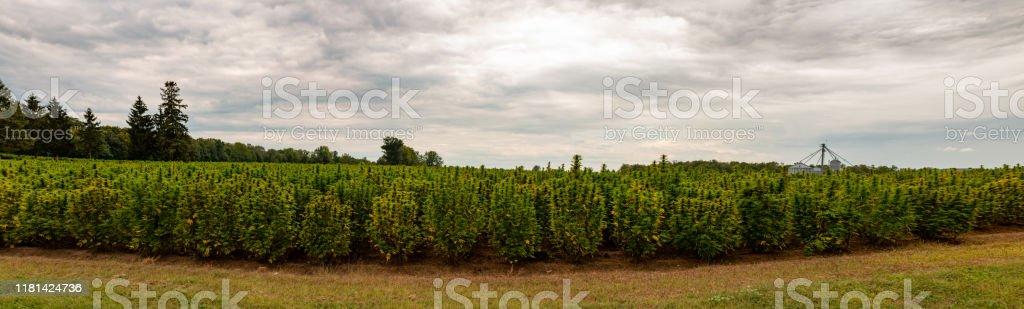 Panorama of a hemp field in Ontario hemp or marijuana field Agricultural Field Stock Photo