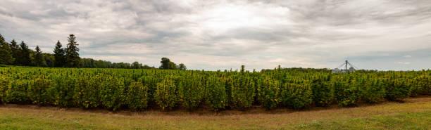 Panorama of a hemp field in Ontario stock photo