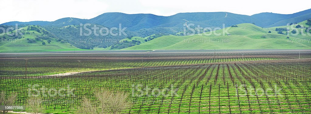 panorama of a vineyard in the spring stock photo