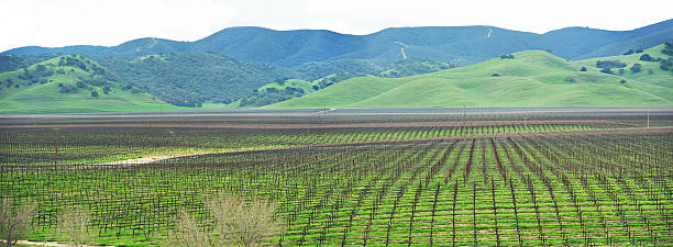 panorama of a vineyard in the spring - central coast california stock photos and pictures
