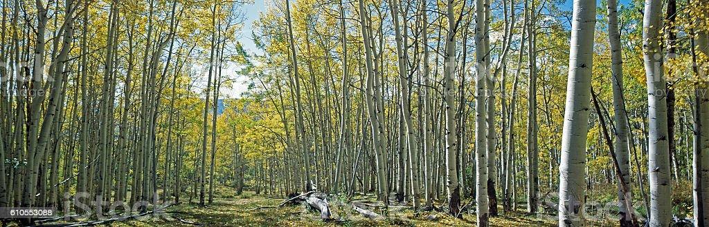 panorama of aspen grove in autumn stock photo
