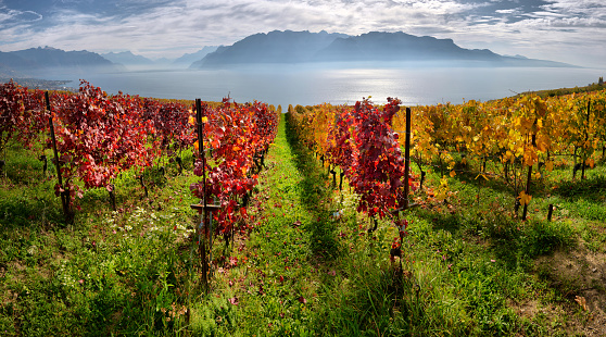 panorama of autumn vineyards in Switzerland View on Lavaux region by autumn day, Vaud