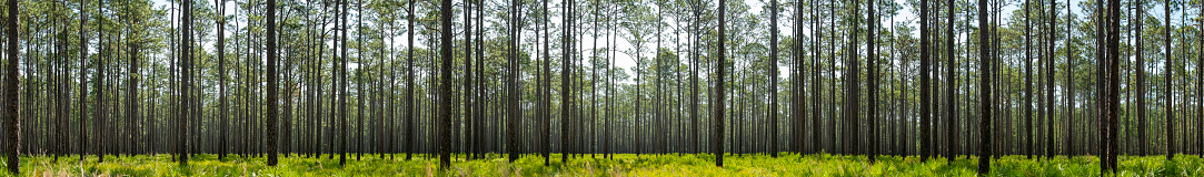 Panoramic shot of Longleaf pine forest that shows signs of prescribed fire on the blackened tree trunks. The low understory is dominated by a Saw Palmetto with gallberry and andropogon going to seed. Photo taken at Goethe state Forest in North central Florida. Nikon D750 with Nikon 200mm macro lens