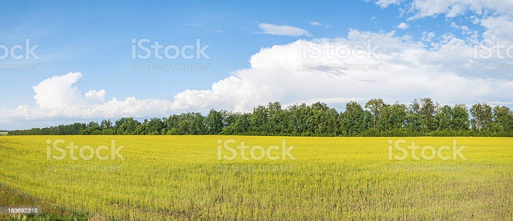 Panorama of blossoming yellow rapeseed field against blue sky background stock photo