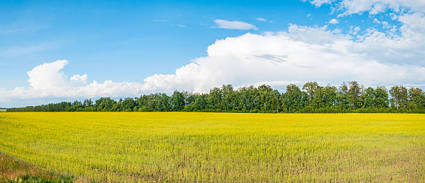 Panorama of blossoming yellow rapeseed field against blue sky background Panoramic view on sunny yellow field of blossoming Rapeseed (Brassica napus) before tree line against blue sky background. Ryazhsky district, Ryazansky region, Russia. treelined stock pictures, royalty-free photos & images