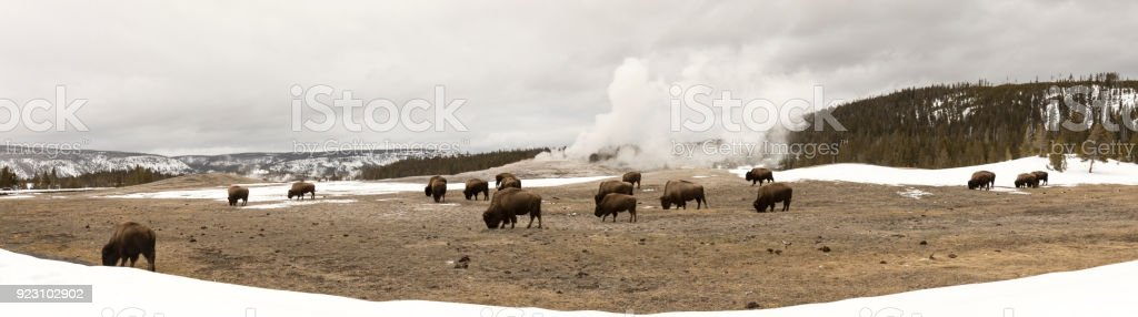 Panorama Of Buffalo Or Bison Grazing Next To Old Faithful