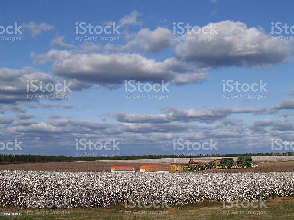 Panorama of Cotton Field at Harvest Time royalty-free stock photo
