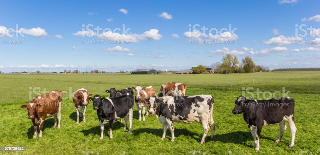 Panorama of cows in the dutch landscape near Groningen stock photo