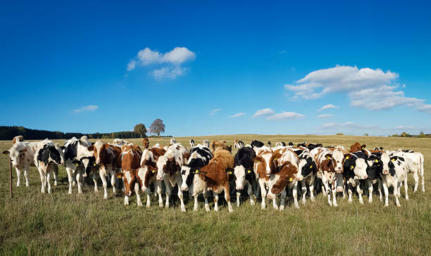 panorama of cows on a farm under blue cloudy sky – cow on cow stock photo