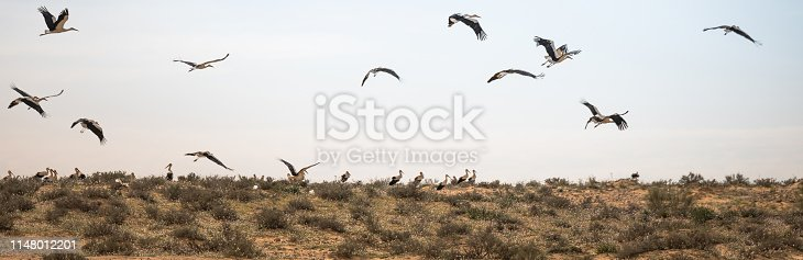 Israel, Negev, a flock of migrating storks fly over a cultivated field. Birds are a major pest to farmers
