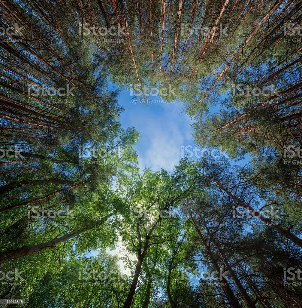 panorama of forest stock photo