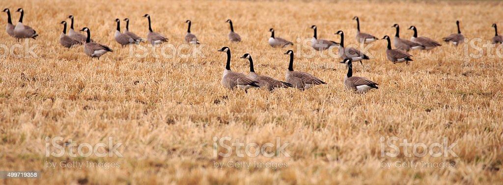 Panorama of Geese. stock photo