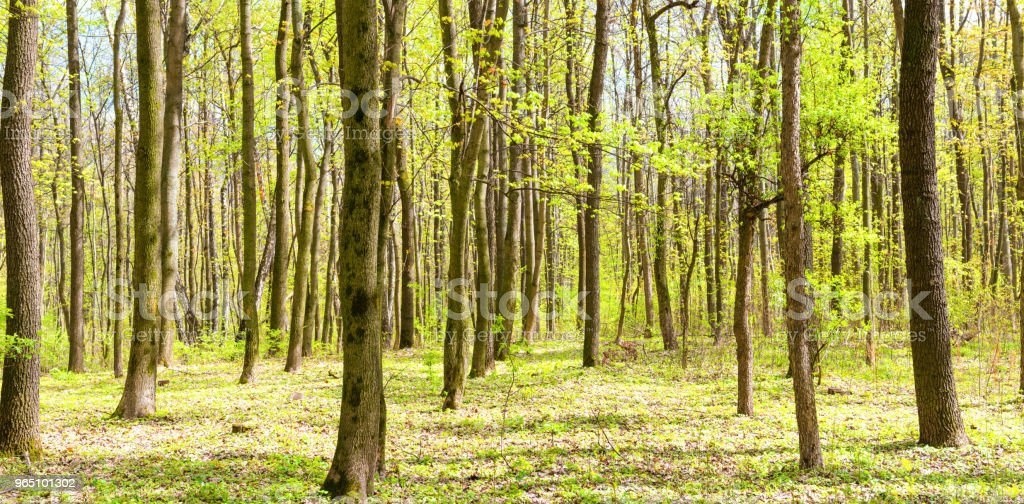 Panorama of green spring forest royalty-free stock photo