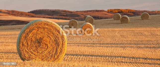 Hay bales on the prairie. Alberta, Canada. Autumn scenic. Horizontal colour image. Harvest. Panorama. A group of hay bales on a rolling field in southern Alberta near Lethbridge. Nobody is in the image, which features beautiful side lighting and wonderful gold hues of fall.
