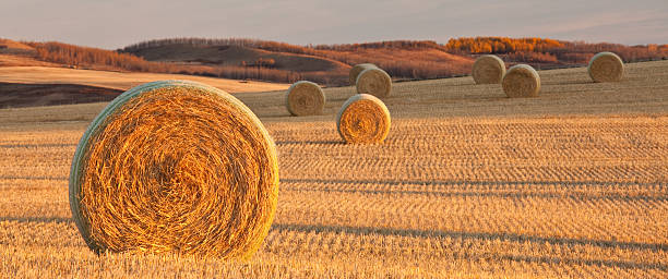 Panorama of Hay Bales on the Prairie in Fall stock photo