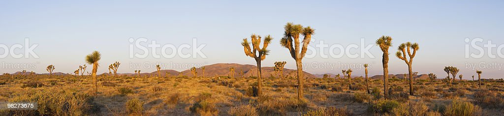 Panorama of Joshua Trees at Sunrise stock photo