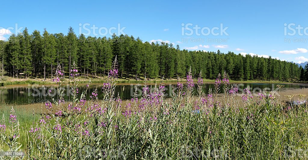 panorama of landscape and fireweed in  Alps stock photo