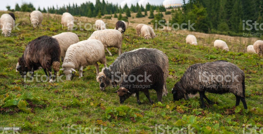 Panorama of landscape with herd of sheep graze on green pasture in the mountains. stock photo