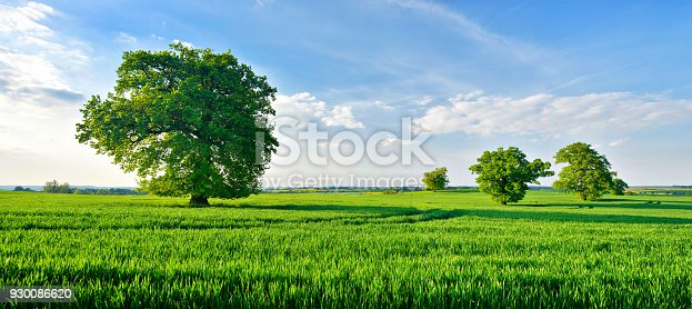Panoramic of old solitary oak trees in endless green field of crops under a beautiful blue sky with clouds in spring