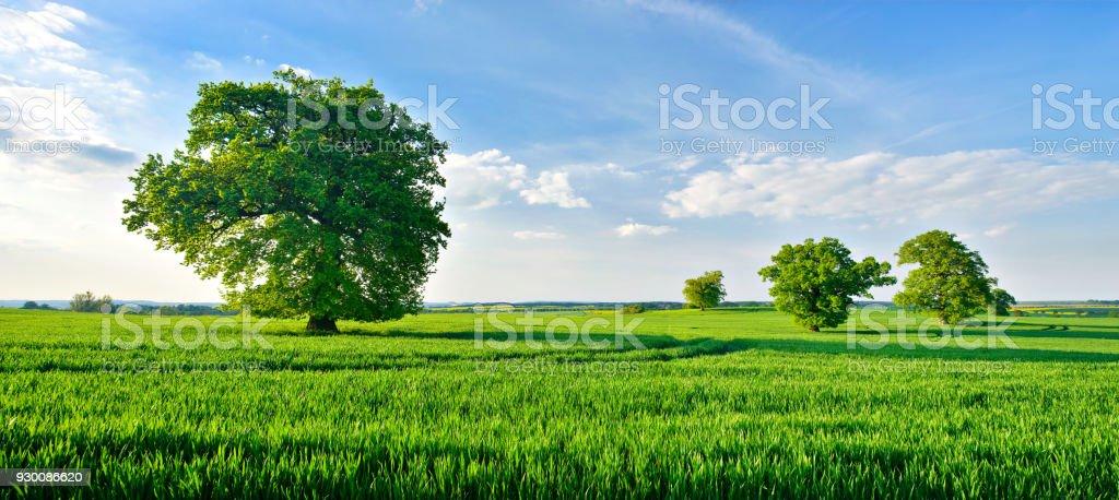 Panorama der Eichen im grünen Wiese unter blauem Himmel mit Wolken – Foto