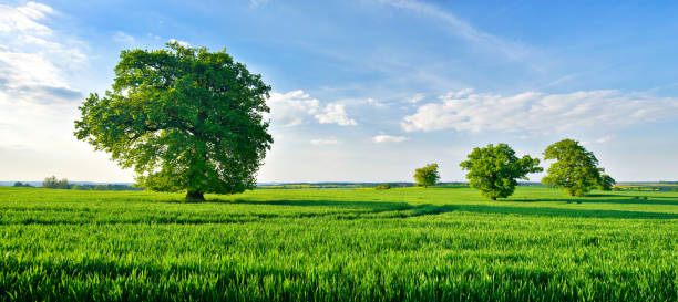Panorama of OakTrees in Green Field under Blue Sky with Clouds stock photo
