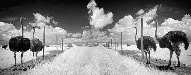 Panorama von Straußenfarm mit Infrarot-Fotografie – Foto