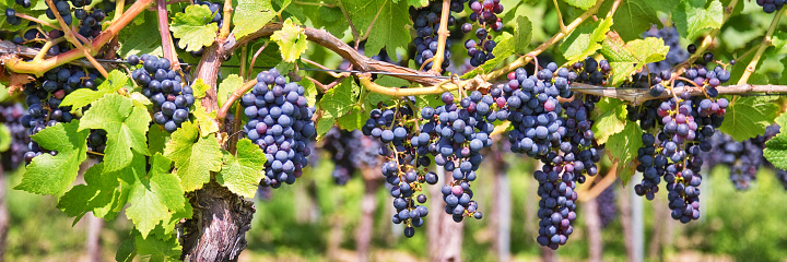 Panorama of red black grapes in a vineyard