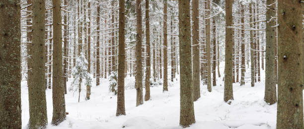 Panorama of snowy winter forest landscape stock photo