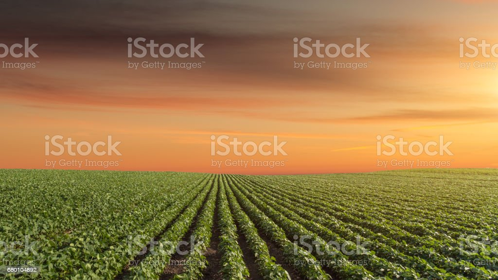 Panorama of soy meadow at beautiful sunset - foto de stock