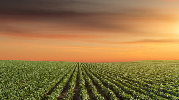 Panorama of soy meadow at beautiful sunset - foto de stock