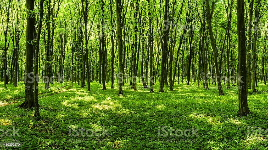 Panorama de floresta de primavera - foto de acervo