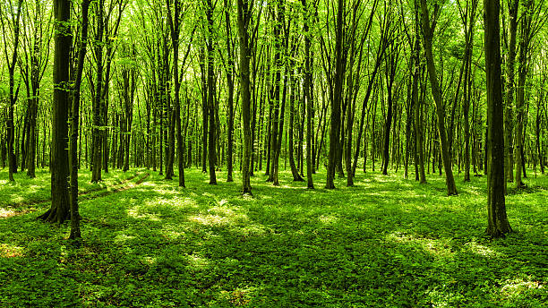 Panorama of spring forest Panoramic view of a sunny spring forest beech tree stock pictures, royalty-free photos & images
