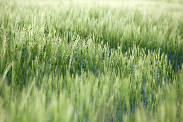 Panorama of sunny cornfield in southern germany stock photo stock photo