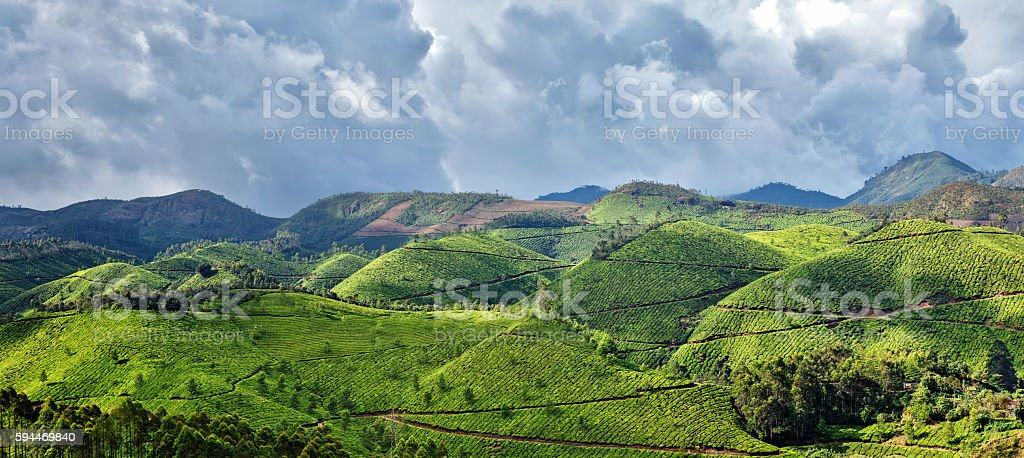 Panorama of tea plantations stock photo